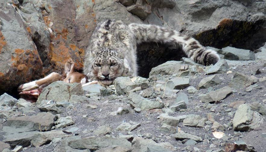 Snow leopard spotted in one of the tours near Markha Valley- Photo by Phuntsok