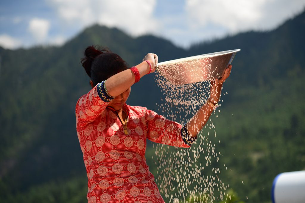 A girl winnowing rice