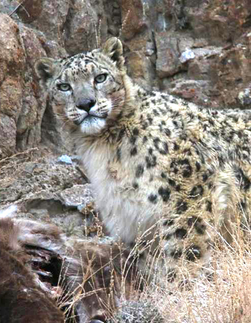 Snow Leopard Sighting trek