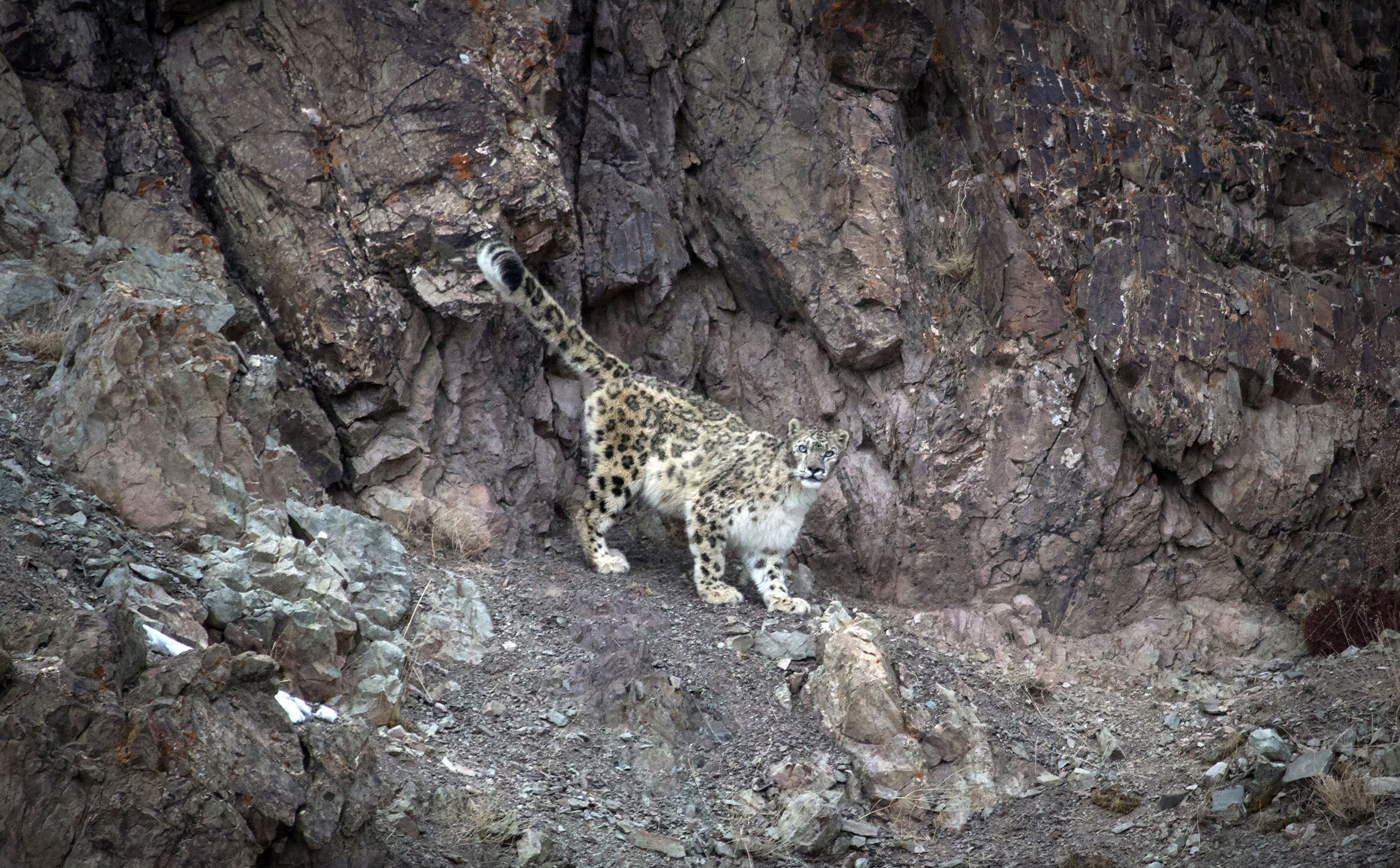 222f39298 Snow Leopard Photography tour — Hi On Life Adventures