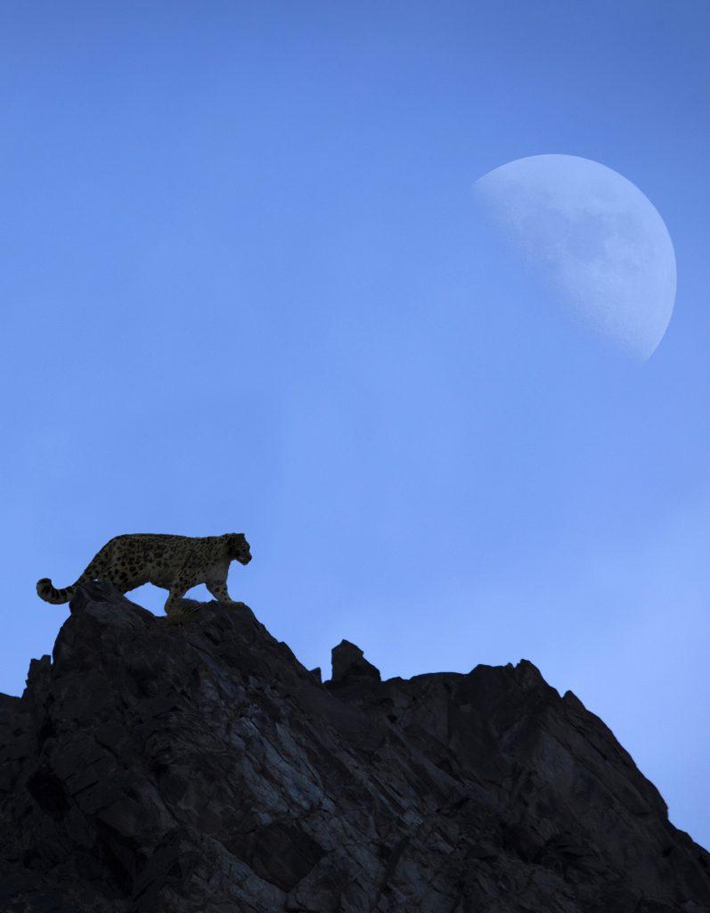 Snow Leopard Photography tour